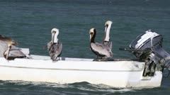 Brown pelicans on a fishing boat Stock Footage