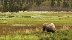 Moose in Marshland and Ducks wide Stock Footage