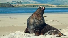 New zealand sea lion woke up and yawns Stock Footage
