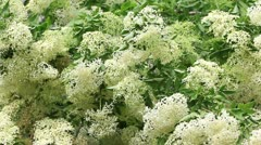 Flowering elderberry bush Stock Footage