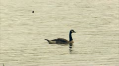 Goose floats on lake Stock Footage