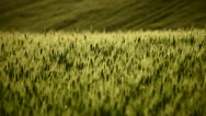 Stock Video Footage of Field of wheat on hill