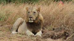 Lion lying down and observing its surroundings Stock Footage