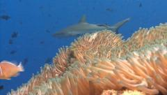 anemone and fish, shark in background - stock footage