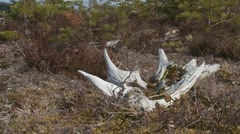Moose antler Stock Footage