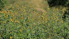 Sun Flowers back Stock Footage