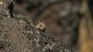 Ground Squirrel 06 Stock Footage