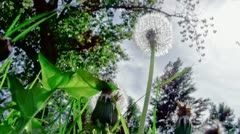 Closeup of dandelion in the wind - stock footage