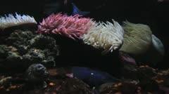 Sea Anemones Stock Footage