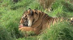 Tiger Stock Footage