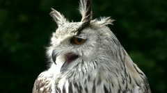 HD1080 Siberian Eagle Owl Close Up Stock Footage