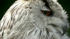 Stock Video Footage of HD1080 Siberian Eagle Owl Close Up