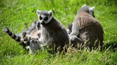 Lemurs with young - stock footage