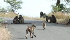 Troop of baboons sitting on a road while de-fleaing eachother Stock Footage