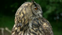 Stock Video Footage of HD1080 Eagle Owl Close Up (bubo bubo)