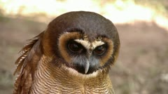 HD1080 Brown Wood Owl (Strix leptogrammica) Stock Footage