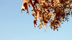 Quercus in autumn - stock footage