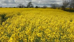 Rape fields Stock Footage