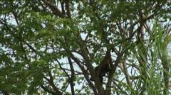 Brazil: monkey running on a trees in Amazon 1 Stock Footage