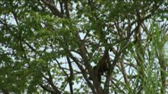 Stock Video Footage of Brazil: monkey running on a trees in Amazon 1