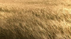 Strong wind blowing at wheat field - stock footage