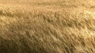 Stock Video Footage of Strong wind blowing at wheat field