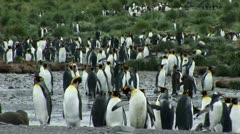 South Georgia: king penguin crowd 2 Stock Footage