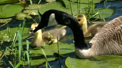 goslings and geese - stock footage