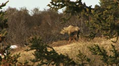 Mother Moose Nursing Young in Springtime 2 Stock Footage