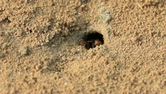 Worker ants carrying soil particles in the wild Stock Footage