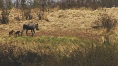 Baby Moose Twins and Mother Moose Browsing in Rain Stock Footage