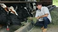 Farmer feeding cows Stock Footage