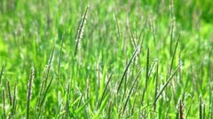 Green grass swaying in the wind. (life sound) - stock footage