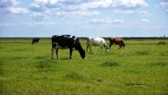 Stock Video Footage of Three cows in a row in dutch landscape