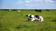 Stock Video Footage of Cow in dutch landscape