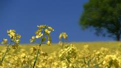 Oilseed Rape Field, Shropshire, England Stock Footage