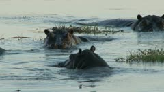 Hippos in the water - stock footage