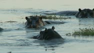 Stock Video Footage of Hippos in the water