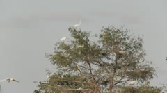 Stock Footage - Egret  Birds of Texas in top of tree, flying Stock Footage