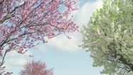 Stock Video Footage of blossoms blowing