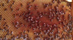 Working bees on honeycomb Stock Footage