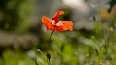 Single poppy blown about on wind Stock Footage