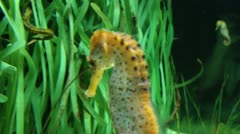 Seahorse swimming in the sea Stock Footage