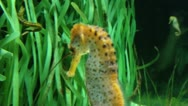 Stock Video Footage of seahorse swimming in the sea