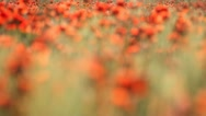 Stock Video Footage of Expanse of poppies (focus)