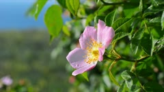 Dog-Rose Stock Footage