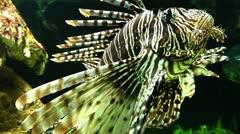 Dangerous Lion fish  Stock Footage