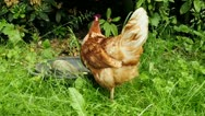 Chicken on a meadow Stock Footage