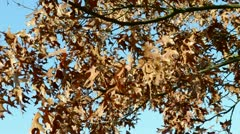 autumn Quercus - stock footage
