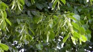 Linden tree Stock Footage